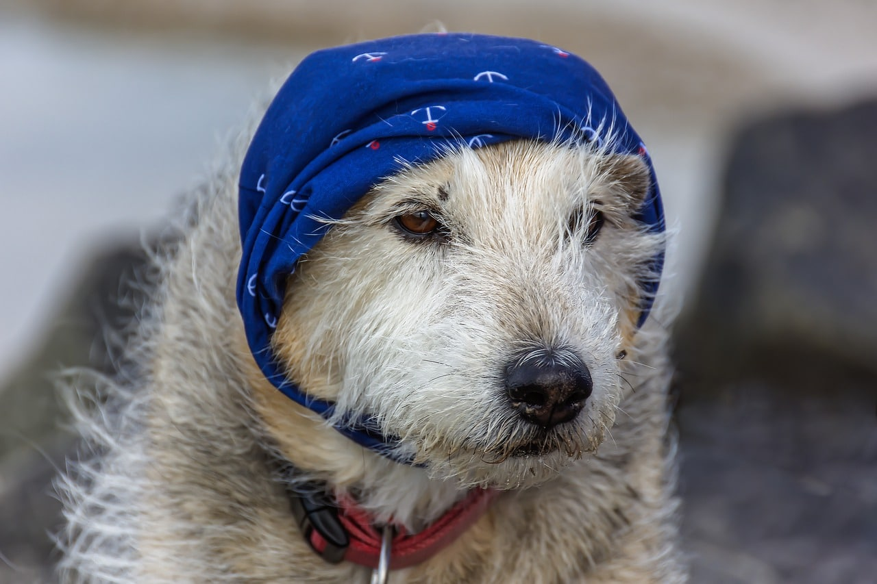 dog, headscarf, shepherd terrier mix